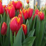 Tulipan_'Choice'
