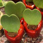 Hoya kerrii - liście tej rośliny pnącej wpisują się w walentynkowy asortyment