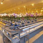 """Storczyki falenopsis_Część obiektu, do której kierowane są """"wędrujące storczyki"""", sortowane ze względu na stopień rozwoju kwiatostanów_Ter Laak Orchids 2011_fot. A-Cecot"""