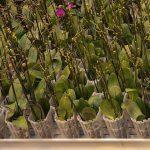 Storczyki falenopsis_Ter Laak Orchids 2011_fot. A-Cecot