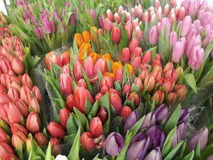 Tulipany w chłodni gospodarstwa Królik, przygotowane do sprzedaży (4 lutego), fot. D. Sochacki