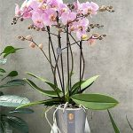 Phalaenopsis 'Marvellous Pink', fot. Ter Laak Orchids