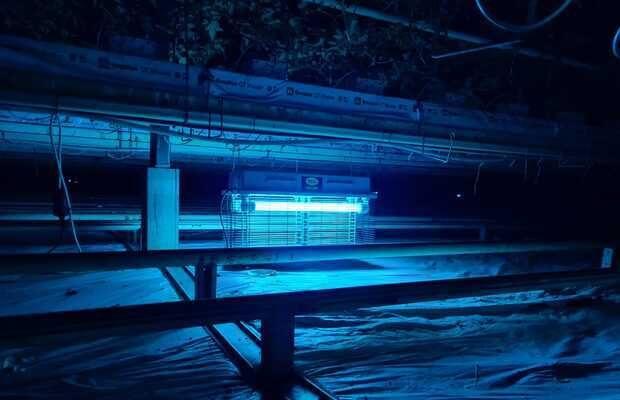 Lampa owadobójcza w nocy zwabia osobniki dorosłe skośnika pomidorowego (Tuta absoluta)