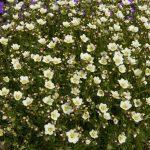 Saxifraga-x-arendsii-Marto-White_fot_Florensis