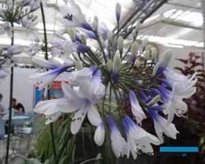Agapanthus africanus 'Twister' to inna odmiana z kolekcji gospodarstwa z Aalter, o rzadkiej u tego gatunku cesze - dwubarwnych kwiatach, fot. A. Cecot