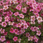 Saxifraga-x-arendsii-Marto-Rose_fot_Florensis