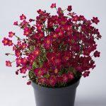 Saxifraga-x-arendsii-Marto-Hot-Rose_fot_Florensis