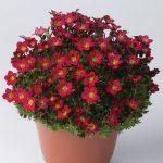 Saxifraga-x-arendsii-Pixi-Pan-Red__fot_Florensis