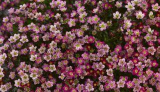 Skalnica (Saxifraga) to na rynku typowa bylina przedwiośnia, fot. Syngenta