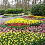 Rabaty z kwitnącymi roślinami cebulowymi rozlokowane na terenie parku to symbol Keukenhofu_2019