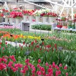 Pawilon Willema-Alexandra-Keukenhof 2019-tulipany-fot_AC