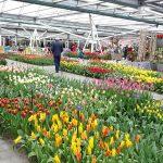 Pawilon Keukenhof 2019-tulipany