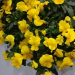 Viola x wittrockiana Cool Wave Yellow