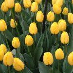 tulipan_Novi Sun_m_fot_AC