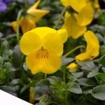 Viola_Deltini Yellow-fot-AC