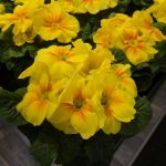 Primula vulgaris Hethor Finalis Yellow