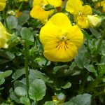 Viola cornuta Endurio Yellow
