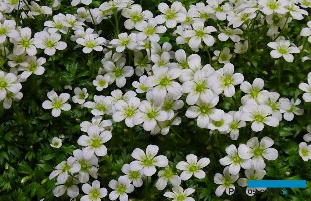 Saxifraga ×arendsii (tu: rozmnażana wegetatywnie odmiana 'Ice Colours Pearl White') to bylina włączana do segmentu wczesnowiosennych roślin sezonowych, fot. A. Cecot
