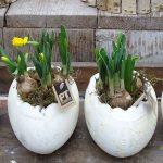 Wielkanocne doniczki z narcyzami trąbkowymi, fot. A. Cecot