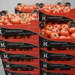 Pomidory z uprawy państwa Kaźmierczaków gotowe do sprzedaży