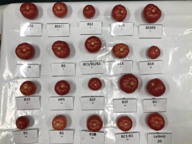Reprezentatywne owoce pomidorów uzyskane pod 20 różnymi widmami LED