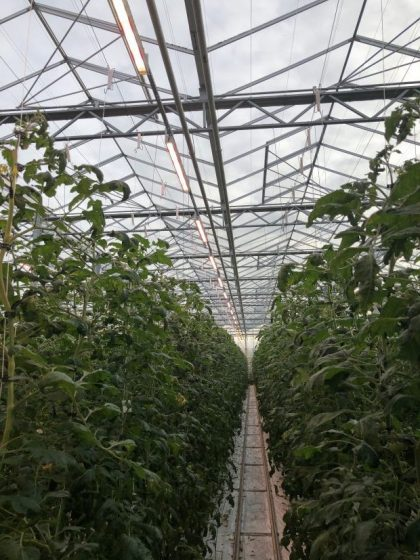 Doświetlanie pomidorów odmiany Tomimaru Muchoo F1 oprawami LED Bilberry w Gospodarstwie Rolno-Ogrodniczym Pana Ryszarda Prusa
