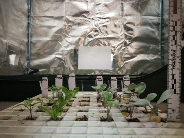 Rozsada warzyw uprawiana pod widmem o zbalansowanym stosunku czerwieni do podczerwieni wykazująca prawidłową morfologię