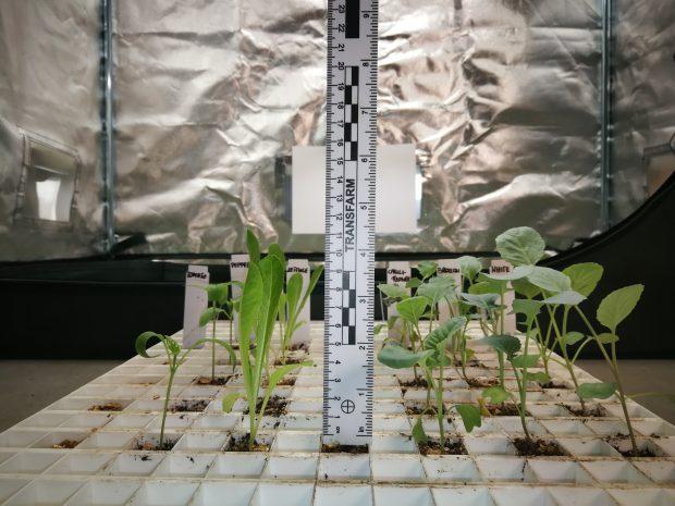 Rozsada warzyw uprawiana pod widmem bogatym w daleką czerwień o nadmiernie wydłużonych międzywęźlach