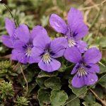 Viola alpina _fot. G-Moen
