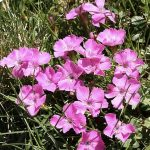 Dianthus glacialis subsp. gelidus_fot G. Moen