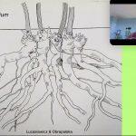 Inula helenium__Lukasiewicz-Obrapalska_ISU Expert-Talks 2021_Noel Kingsbury