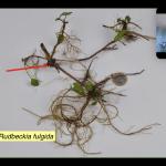 Rudbeckia fulgida-typ wzrostu_ Noel Kingbury_ISU Expert-Talks