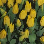 Tulipany 'Strong Gold_fot A-Cecot