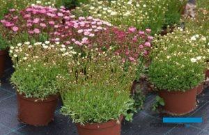 Skalnica Arendsa to ważna bylina przedwiośnia, fot. A. Cecot
