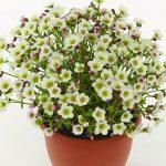 Saxifraga Ice Colours Pearl White - kolor kwiatów u rośliny z uprawy pod osłonami_Florensis