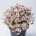 Saxifraga Ice Colours Pearl White - kolor kwiatów u rośliny z uprawy na zewnątrz-fot. Florensis