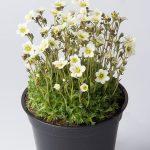 Saxifraga-x-arendsii-Pixie-White_fot_Florensis