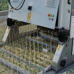 W szklarniach rozsadowych Grupy Krasoń od niedawna pracuje robot do wbijania patyczków w kostki rozsadowe)