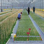W najnowszej szklarni Grupy Krasoń w Kisielach produkcję rozsady rozpoczęto pod koniec 2020 r.