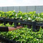Od niedawna w firmie Rozsadnik produkowane są również sadzonki truskawek