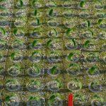 Siewki ogórka w kostkach rozsadowych (2020, Grupa Krasoń, Kisiele)