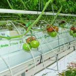 Gospodarstwo państwa Kaźmierczaków zostało pozytywnie ocenione m.in. za wysoką jakość i dobry smak produkowanych pomidorów