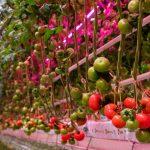 Pomidory malinowe Tomimaru Muchoo w uprawie intensywnie doświetlanej w systemie Full LED (górne i międzyrzędowe moduły z firmy Signify)