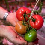 Pomidory malinowe Tomimaru Muchoo z doświetlanej uprawy