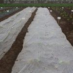Osłanianie wysadzonej rozsady cukinii w wilgotną glebę ułatwia przyjmowanie się roślin, fot. P. Bucki