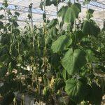 (fot. Natasza Borodynko-Filas) Więdnięcie porażonych roślin ogórka