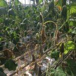 Zamieranie porażonych roślin ogórka (fot. Natasza Borodynko-Filas)