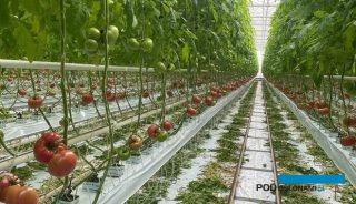 Pierwsze dojrzewające pomidory malinowe w uprawie niedoświetlanej - odmiana Hakumaru (fot. M. Sowa)