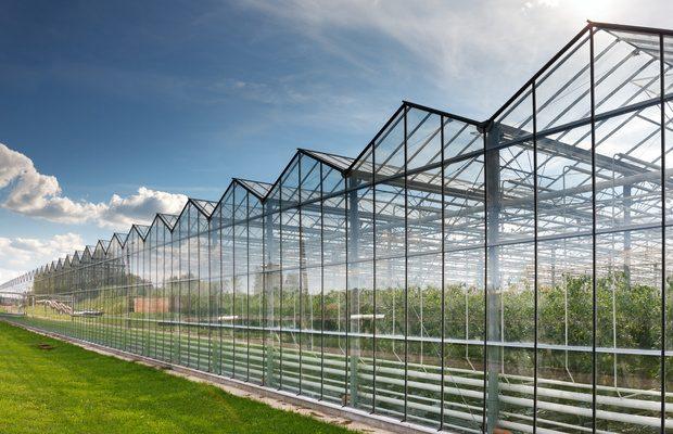 Szklarnia z uprawą pomidorów - ogrodnicy w Polsce decydujący się na uprawę doświetlaną najczęściej produkują pomidory malinowe