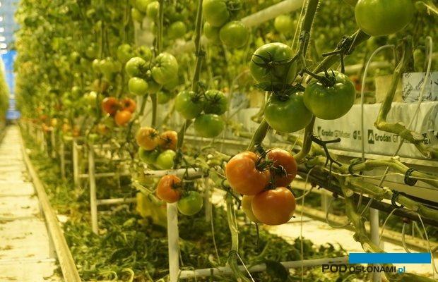 W Instytucie Ogrodnictwa prowadzone są doświadczenia z doświetlaniem roślin ozdobnych i warzyw, także w polskich szklarniach coraz częściej można zobaczyć doświetlaną uprawę pomidorów - tu początek plonowania doświetlanych pomidorów malinowych w okolicach Kalisza (fot. A. Wize), Tomimaru Muchoo, Kordylasiński